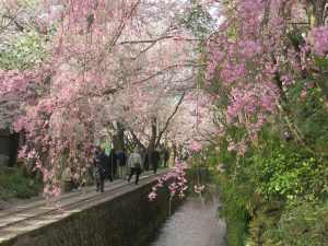 2018年京都の開花情報