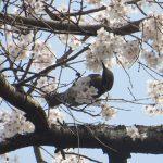 御所近衛邸跡の糸桜満開